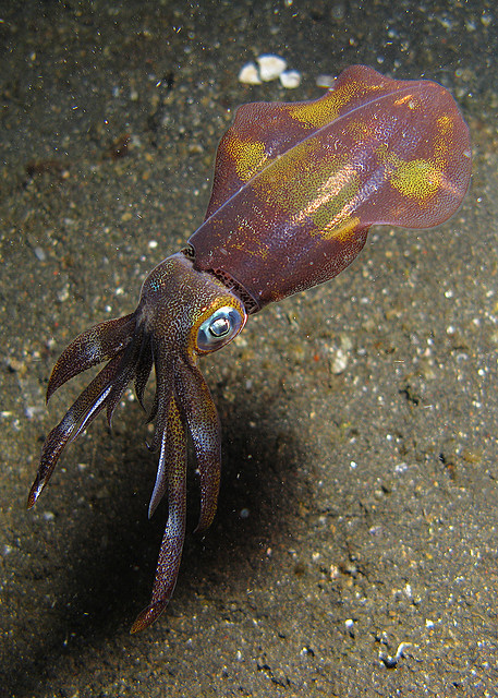 squidtopia:  Squid by vividDom on Flickr.