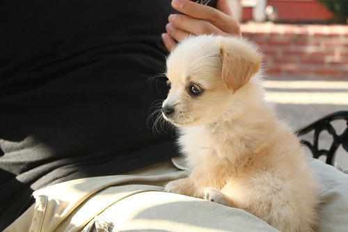 Cute little gold puppy is playing on the legs of his owner. So adorable and tiny!
