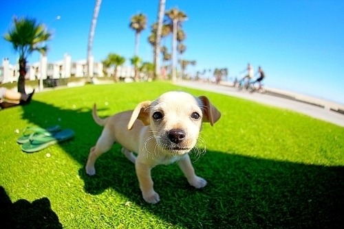 Cute little puppy wants to play in a park in California. He is so happy and playful!