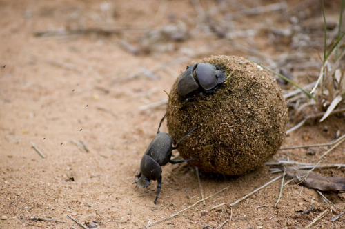 Possibly the most entertaining animal encounter… the dung beetle. Photograph: Christopher Mullaney