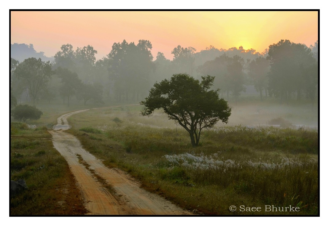 ' Morning  glory '  (My first visit to Kanha National park Jungle , Oct 2011) Me and all my wildlife crazy friends had been planning this Jungle camp to Kanha National Park (MP,India) for past few months, and finally the day had arrived!   With high hopes , minds full with ideas , and very little patience , we enjoyed a day's journey.  It was already night when we reached our hotel in Kanha. That night was spent under the warm blankets , dreaming about the  cold dawn ahead and the look of the jungle in the morning sunrays! Yes! The winter had already started in Kanha…… The next morning , we started our first ride very early, even before the sunrise. I had heard many descriptions about Kanha's beautiful jungle and terrain for so many times ; also had seen it in many photos , videos and documentaries.  But feeling I got, when we first entered that jungle, has no comparison to any of those photos or videos. Only by seeing those warm coloured sunrays , I felt warmth somewhere inside me. A wake up call!   Mixed shades of hues in the sky, gently warming morning sunrays, a tree waiting to welcome us, the grass grown higher trying to conceal the secrets of the jungle and the pathway , cutting through the dense -moist mist , inviting us inside the treeline …..The Jungle was waking up……. A few moments later, my Body was still cold , eyes were stunned, mind was busy in composing a frame and hands were enabling the camera settings! The Nature had already took control of me… And this is how our safari began…. I feel very happy to have this mesmorizing landscape as my very first 'impression' of Kanha!
