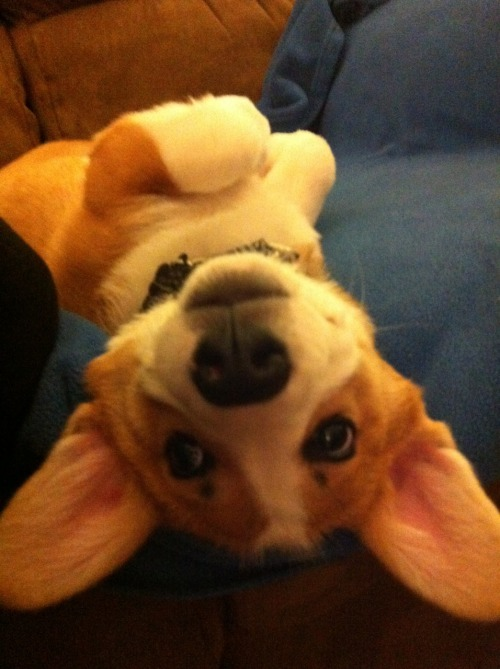 corgiaddict:  Open for belly rubs. No pressure….but i might poop in your shoe if you don't.#jumbo ears