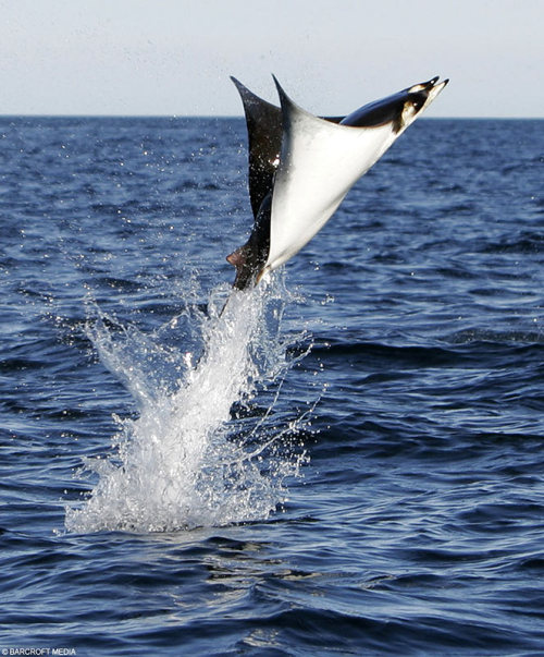 rhamphotheca:   A Mobula ray (genus Mobula) leaps out of the water in SHEER ECSTASY!!!
