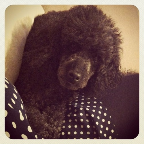 Poodle. (Taken with instagram)