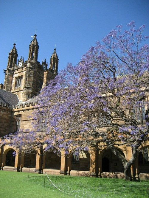Jacaranda Tree, Sydney University