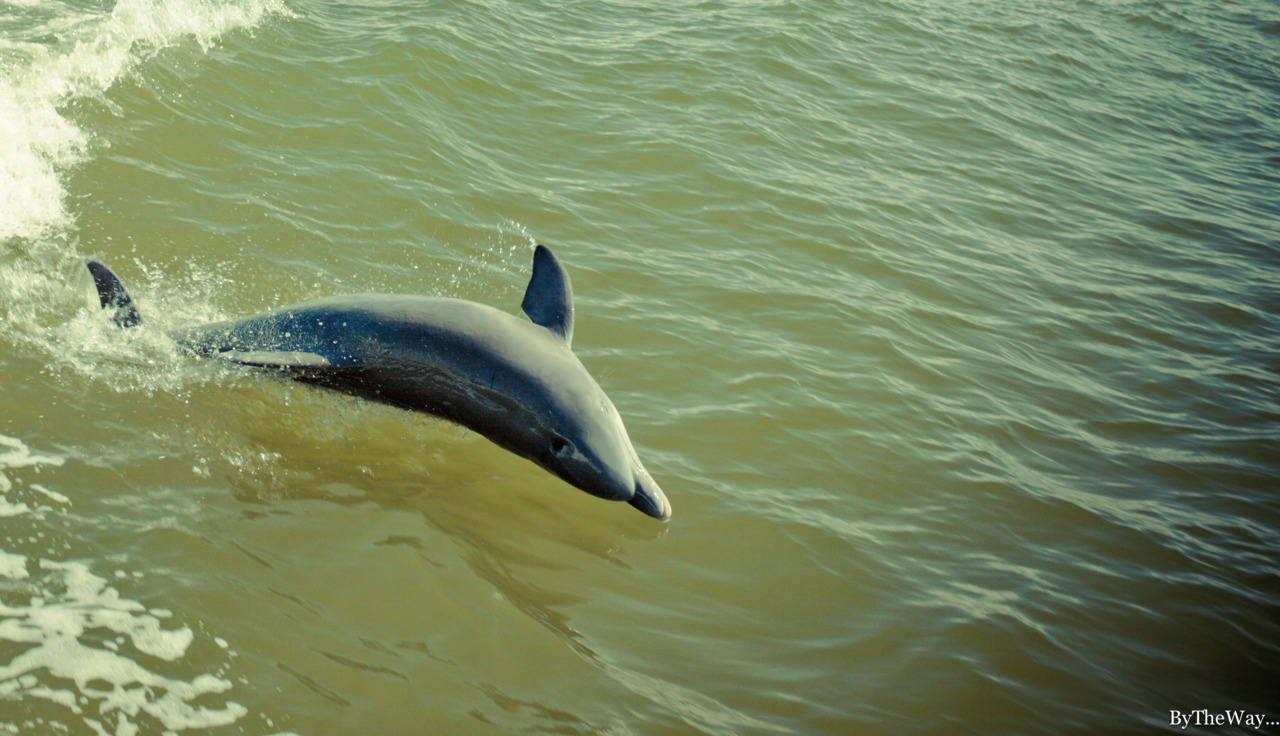 Dolphin flip in the Chokolosee Bay - Everglades' Ten Thousand Islands, Florida