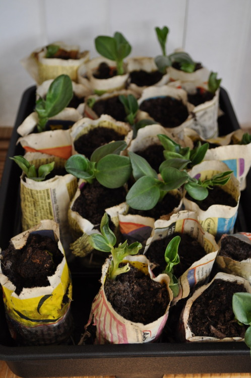 Broad beans seedlings in paper pots waiting to be planted out. (c)JReid
