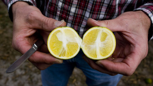 Citrus tree disease spreads to TexasCitrus greening leaves fruit safe to eat but attacks a tree's vascular system, reducing fruit size, affecting color and causing fruit to drop before ripening.