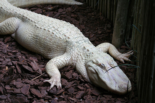 All of the albino American alligators are kept inside in a darkened environment and give supplemental vitamin D because without melanin to protect from sunshine, they can die from sun basking which is a typical reptile habit.  Albino Alligator (by Hillarie)