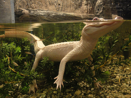 All known Albino alligators come from one wild pair in Louisiana. The eggs are collected under Louisiana law and any albinos are kept along with a percentage of the regular colored offspring.  Albino Alligator - Aquarium of The Americas (by sir gixxer lot)