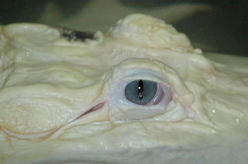 True Albinos always have red eyes. Leustic animals have blue or light brown.  White Alligator Eye (by Saveena (AKA LHDugger))