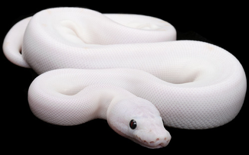 Leucism can occur in any species and ball pythons have been specifically bred to be leucitic.   (via Constrictors Unlimited-Collection-Black Eyed Leucistic Ball Python)