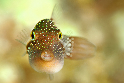 "Spotted Sharpnose Puffer | Canthigaster jactator ""Spotted Sharpnose Puffers secrete a type of mucous, or slime, from their skin. This slime provides protection against parasites and infections and helps the Spotted Sharpnose Puffer to move through the water faster."" (by James R.D. Scott)"