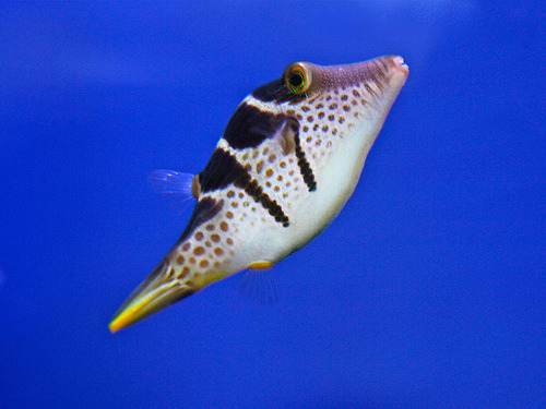 Valentini Puffer | Canthigaster valentini (by Ron's Aquarium photos)