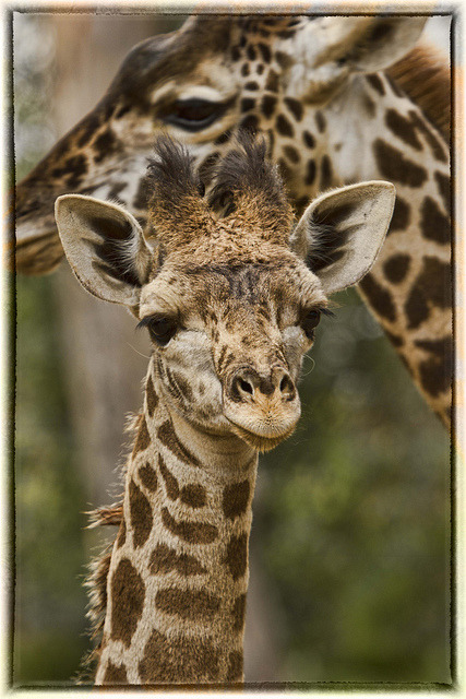 sdzoo:  IMG_6833 by pb.fletch on Flickr.