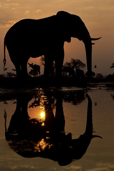 funkysafari:  African Elephant photo by Frans Lanting