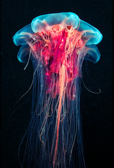 urhajos:  Jellyfish photography by Alexander Semenov