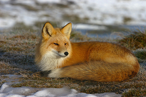 Female Red Fox. (by AlaskaFreezeFrame)