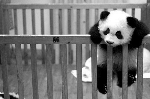 cute little panda. love. love