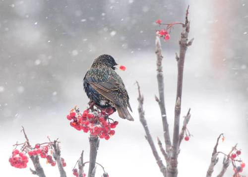 resonat:  Starling In The Snow (Sturnidae)