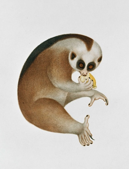 "The slow loris is thought to be the only primate with a toxic bite. It produces the toxin by licking the brachial gland on the forearm, mixing it with their saliva. The toxin itself is thought to be produced by consuming poisonous insects. Adult lorises have been observed giving their young a ""toxic bath"" before going to hunt."