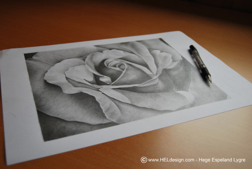 The finished drawing of the rose:)Tools: Mechanical pencil HB, pencil 4BSize: 30cm x 24,5cm