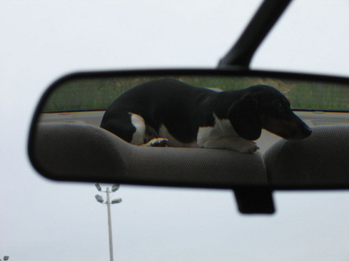 piebalddachshunds:  Junji: rear view mirror view by shimown on Flickr. LOVE