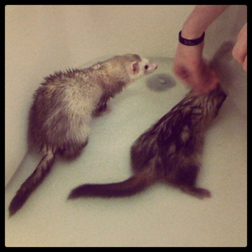Ferret bath!!!! (Taken with instagram)