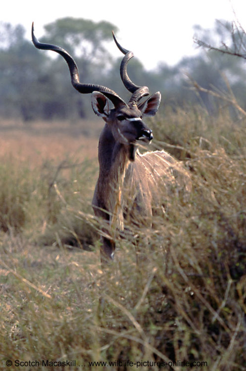 Greater Southern Kudu