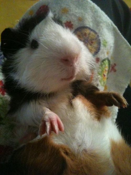 PIGTURE OF THE DAY: Time for belly tickles!  We have been a busy bunch this week…we said goodbye to three foster piggies who went to their forever home, and took in a new special little guy: meet baby Lucky! :)  He was dumped at a local pet store by an irresponsible breeder (he still has a hole in his ear from having been tagged) and is recovering from multiple bite wounds, one of which abscessed and ruptured soon after he came to live with us…poor baby! :(  But he is all cleaned up and on meds now and is feeling much better, safe and snuggly with his two new foster big brothers who think he's the greatest thing ever, licking and grooming and chasing him around all day. :)