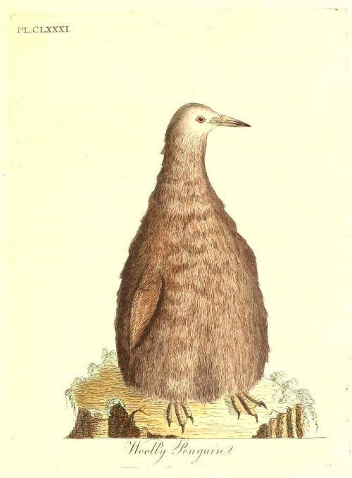 "The ""Wooly Penguin"" was actually a mis-classification of  King Penguin (Aptenodytes patagonicus) chicks as a different species due to their pre-pubescent shag. The whole thing makes me chuckle, frankly. via biomedicalephemera:  The King Penguin is the second-largest penguin out there, second only to the very similar-looking Emperor Penguin. The King Penguin has a longer breeding cycle than the Emperors, with chicks taking almost 16 months to fully fledge and become independent of their parents. As the breeding cycle is so long, their colonies are continually occupied. Since caring for the offspring for over a year takes a massive amount of energy, the adult penguins often leave for weeks at a time to fish and replenish their fat stores enough to feed the youngsters. While their parents are out fishing, the young king penguins form crèches, watched over by just a few adult penguins, who stick close by primarily to protect the crèche from the potential-but-uncommon predators. Imagine coming upon thousands upon thousands little wooly birds taking up a massive area of an island, with a single adult king penguin waddling around here and there. If you didn't know about the crèches of other penguin species, why would you suspect anything besides this being a previously-unknown species? The early explorers and naturalists certainly thought as much. The early ""Wooly Penguin"" representations by Latham and a couple of other ornithological and antarctic naturalists have all been confirmed to have been the juvenile form of the King Penguin. A General History of Birds, Vol X. John Latham, MD. 1781."