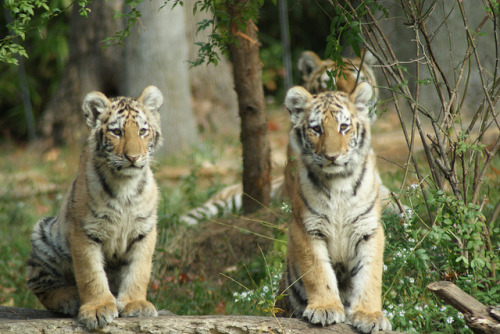tigersandcompany:  Tiger Cubs (by orchidgalore)