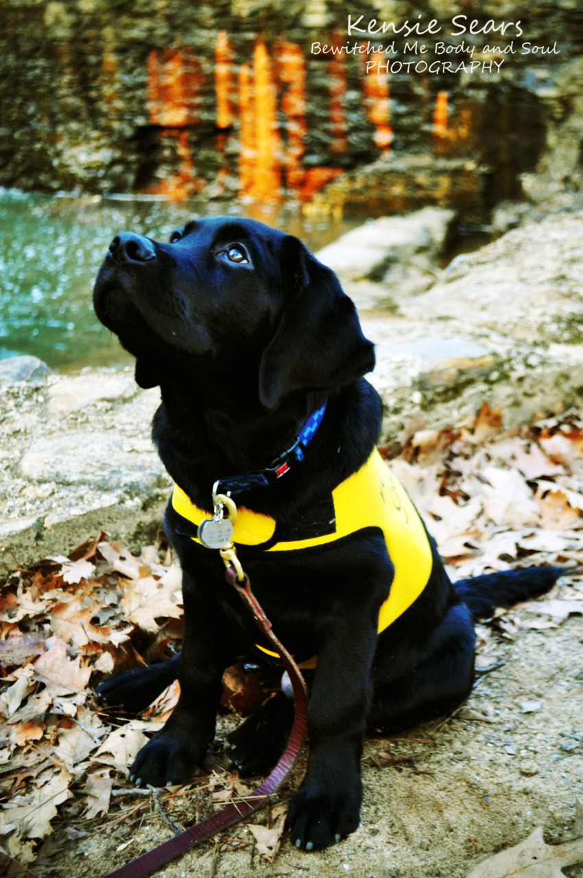 bewitchedmebodyandsoulphoto:  Miracle in the Works. Guide Dog Puppy in Training. Herb.