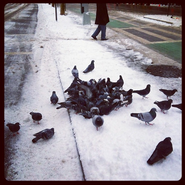Feeding Frenzy? #pigeons #huddle #snow #feathers (Taken with instagram)
