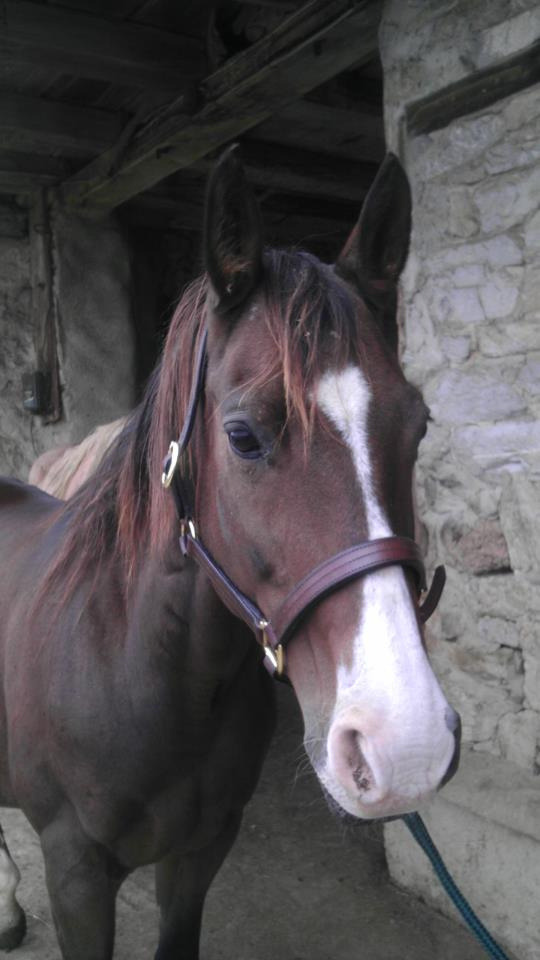 Someone needs to adopt this wonderful and GORGEOUS mare!!!  Bonnie - Quarter Horse mare direct rein quiet and gentle on the trail will ride English, Western or bareback.  Will do trails or ring work likes to be with other horses when on trails.  She is just a very easy to get along with lady who is gentle and easy to handle. Located at AC4H in PA (www.ac4h.com)