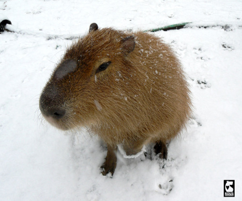 This is Dobby who lives in Seattle. Capybaras can handle the snow but that doesn't mean they like it.
