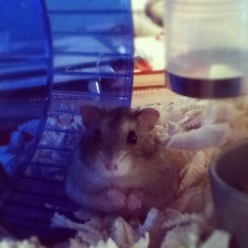 Barbosa! our new hamster :)  (Taken with instagram)