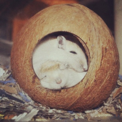 Miss my gerbils.. so cute