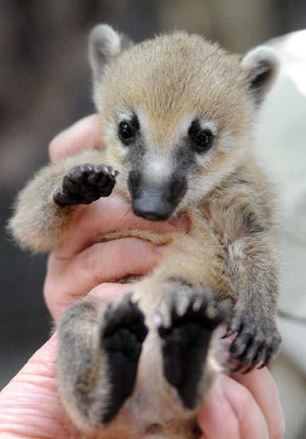 rhamphotheca:  littlearchitect:allcreatures: Baby South American Coatis :3   One of 22 recently-born coatis is given a medical inspection by zoo keepers at Melbourne Zoo. The coati, which belongs to the larger raccoon family, was given a vaccination and micro-chipped to be easily identifiable in future. Picture: EPA/JULIAN SMITH (via Animal pictures of the week: 20 January 2012 - Telegraph)