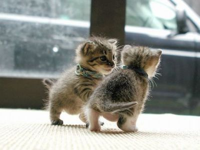 relentlessconfuzzlement:  Kittens playing tag… ^^