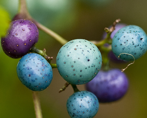 Wow. The color of these porcelain berries is unreal. Ameplopsis brevipedunculata (that's a mouthful) is in the grape family.