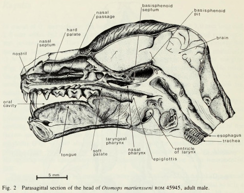 'Morphology of the basisphenoid pits and related structures of the bat Otomops martiensseni (Chiroptera : Molossidae) (1979)'