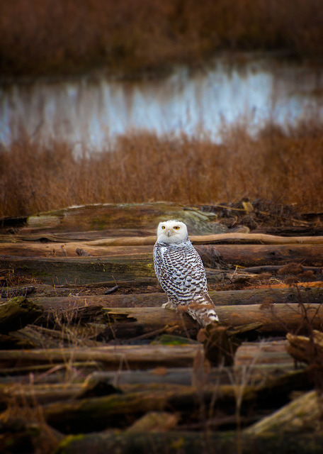 Snowy Owl by EdBob on Flickr.