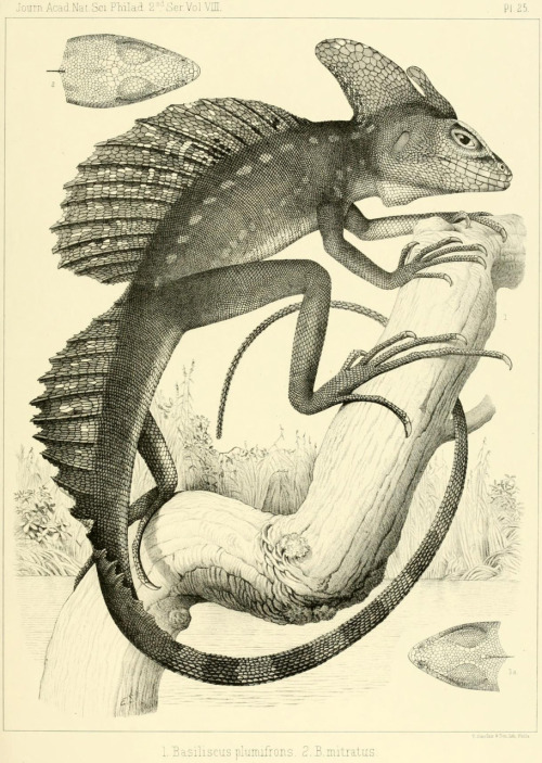 The plumed basilisk, Basiliscus plumifron 'On the batrachia and reptilia of Costa Rica With notes on the herpetology and ichthyology of Nicaragua and Peru' by E.D. Cope (1875)