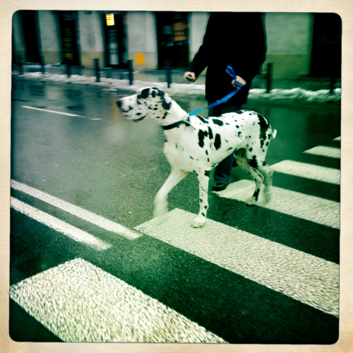 Dots on stripes, k-9 in Warsaw, Jan. 2012