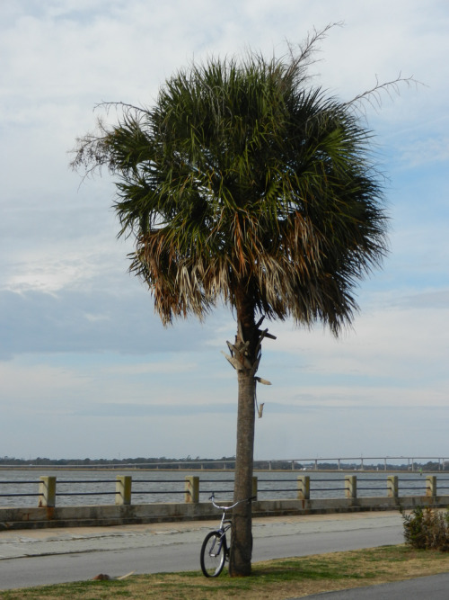 intracoastal-wanderings:  Palmetto and BikeCharleston, SC