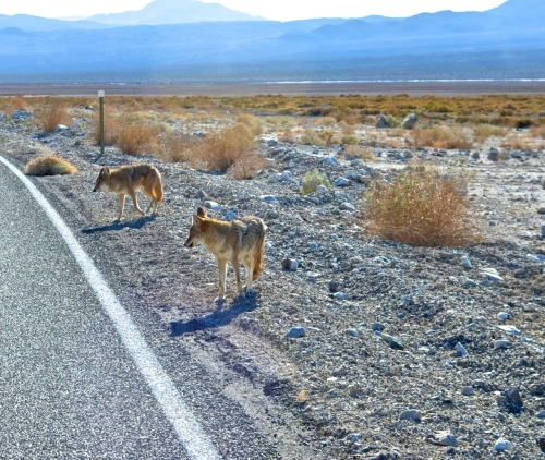 Coyote crossing.