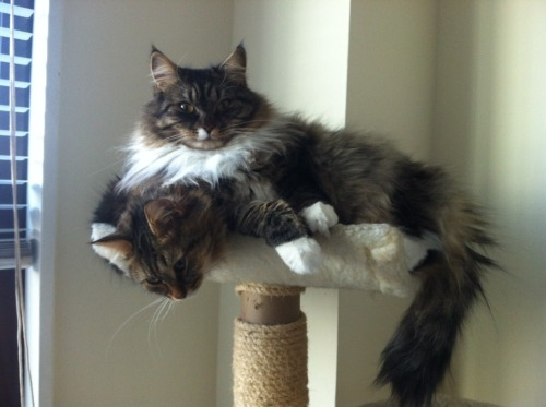 Double-decker cat, aka The Two-headed Siberian.