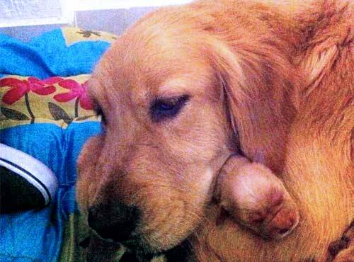 imgur Golden Retriever hugging her 15 hour old newborn Original Article