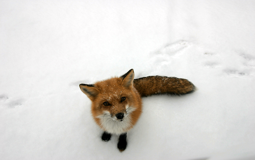 gdfalksen:  Fox in the snow